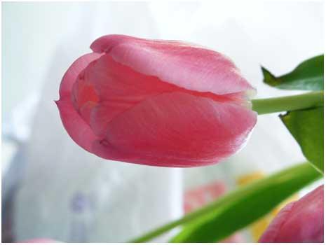 Tulipblog.jpg